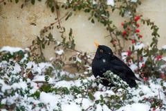 Male of Common blackbird Stock Photography