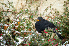 Male of Common blackbird. (Turdus merula) on Cotoneaster plant in winter garden, snowy day Royalty Free Stock Images