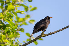 Male common blackbird Turdus merula sitting. With blue sky Royalty Free Stock Photo