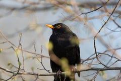 Male common blackbird Turdus merula sitting. Natural male common blackbird Turdus merula sitting Stock Photos