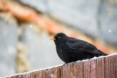 Male of Common blackbird Stock Photo