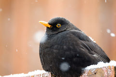 Male of Common blackbird Royalty Free Stock Image