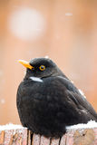 Male of Common blackbird Royalty Free Stock Photography
