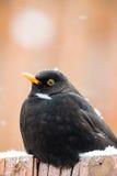 Male of Common blackbird. (Turdus merula) on in winter garden Royalty Free Stock Photography
