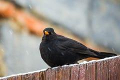 Male of Common blackbird Royalty Free Stock Photos