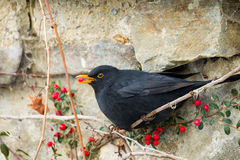 Male of Common blackbird. (Turdus merula) witj berry of Cotoneaster plant in beak in winter garden, snowy day Royalty Free Stock Images