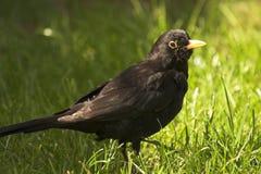 Male Common Blackbird in UK garden Stock Image