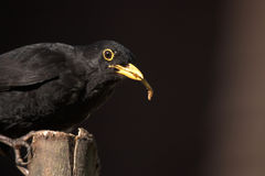 Male Common Blackbird in UK garden feeding Stock Photos