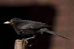 Male Common Blackbird in UK garden feeding UK bird life wildlife rspb feeding work perched Royalty Free Stock Images