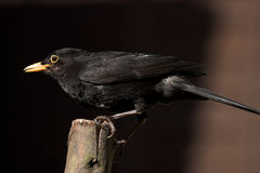 Male Common Blackbird in UK garden feeding UK bird life wildlife rspb feeding work perched Stock Photo