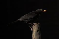 Male Common Blackbird. In UK garden feeding UK bird life wildlife rspb feeding work perched Stock Images