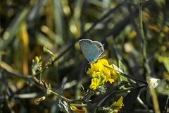 Male common blue butterfly sits on a yellow flower. Polyommatus icarus Stock Photo
