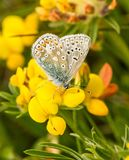 A male common blue butterfly with wings closed. On Common Bird's-foot-trefoil royalty free stock photo