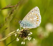 A male common blue butterfly with wings closed. On grass stock photos
