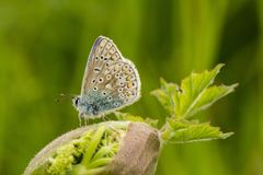 A male common blue butterfly with wings closed. On green grass royalty free stock photo