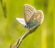 A male common blue butterfly with wings open. On green grass royalty free stock photo