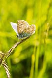 A male common blue butterfly with wings open. On green grass stock photography