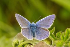 A male common blue butterfly with wings open. On green grass royalty free stock photos