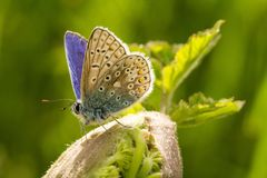 A male common blue butterfly with wings open. On green plant stock images