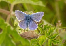 A male common blue butterfly with wings open. On green plant royalty free stock photography