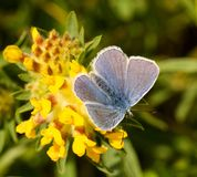 A male common blue butterfly with wings open. On yellow clover stock photo