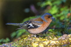 Male common chaffinch bird, fringilla coelebs. On a rock royalty free stock photo