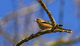 Male common chaffinch bird, fringilla coelebs. On a tree branch by winter royalty free stock images