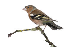 Male Common Chaffinch on a branch Royalty Free Stock Photo