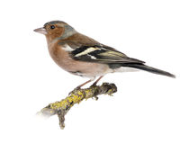 Male Common Chaffinch on a branch - Fringilla coelebs Stock Photography