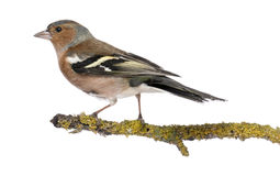 Male Common Chaffinch on a branch Stock Photos