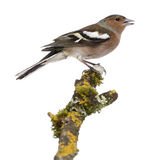 Male Common Chaffinch on a branch- Fringilla coelebs Royalty Free Stock Photography