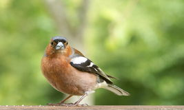 Male Common Chaffinch (Fringilla coelebs) Royalty Free Stock Photo
