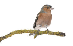 Male Common Chaffinch - Fringilla coelebs Stock Photo