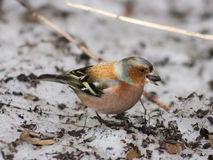 Male Common Chaffinch, Fringilla coelebs, close-up portrait on ground, selective focus, shallow DOF Stock Images