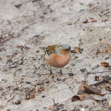 Male Common Chaffinch, Fringilla coelebs, close-up portrait on ground, selective focus, shallow DOF Stock Photos