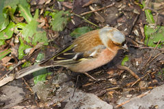 Male Common Chaffinch, Fringilla coelebs, close-up portrait on ground, selective focus, shallow DOF Royalty Free Stock Photo