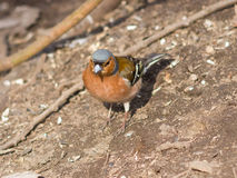 Male Common Chaffinch, Fringilla coelebs, close-up portrait on ground, selective focus, shallow DOF Stock Image