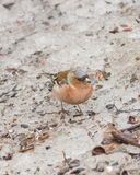 Male Common Chaffinch, Fringilla coelebs, close-up portrait on icy ground, selective focus, shallow DOF Stock Image