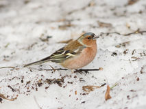 Male Common Chaffinch, Fringilla coelebs, close-up portrait on icy ground, selective focus, shallow DOF Royalty Free Stock Photos