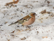 Male Common Chaffinch, Fringilla coelebs, close-up portrait on icy ground, selective focus, shallow DOF Royalty Free Stock Image