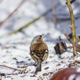 Male Common Chaffinch, Fringilla coelebs, close-up portrait on icy ground, selective focus, shallow DOF Royalty Free Stock Photography