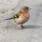 Male Common Chaffinch Fringilla coelebs, close-up portrait on road, selective focus, shallow DOF.  stock images
