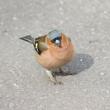 Male Common Chaffinch Fringilla coelebs, close-up portrait on road, selective focus, shallow DOF Stock Photos
