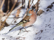 Male Common Chaffinch, Fringilla coelebs, close-up portrait on snow, selective focus, shallow DOF Stock Image