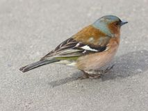 Male Common Chaffinch Fringilla coelebs, close-up portrait walking on road, selective focus, shallow DOF Stock Images