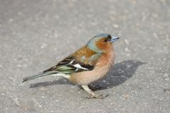 Male Common Chaffinch Fringilla coelebs, close-up side portrait on road, selective focus, shallow DOF Stock Images