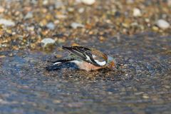 Male common chaffinch fringilla coelebs grooming plunge head i Stock Photos