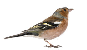 Male Common Chaffinch - Fringilla coelebs Stock Photos