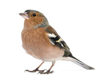 Male Common Chaffinch - Fringilla coelebs Royalty Free Stock Photography