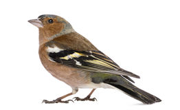 Male Common Chaffinch - Fringilla coelebs Stock Image